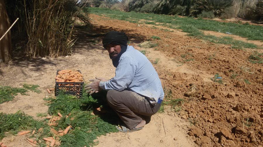 Cultivador de zanahorias en uno de los pocos oasis de Smara.