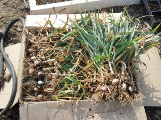 Harvested Garlic Plants in A Box