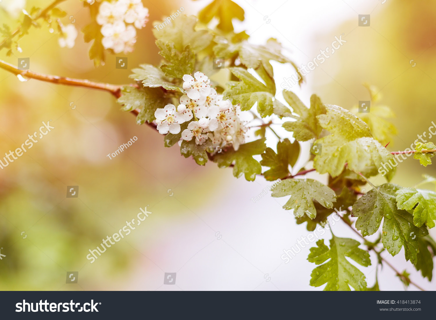 abstract, april, backdrop, background, beautiful, beauty, bird, bloom, blooming, blossom, blossoming, blur, branch, bud, cherry, closeup, copy, floral, flower, focus, fresh, freshness, gardening, green, may, natural, nature, petal, plant, shallow, sky, space, spring, sunlight, tree, white, yellow