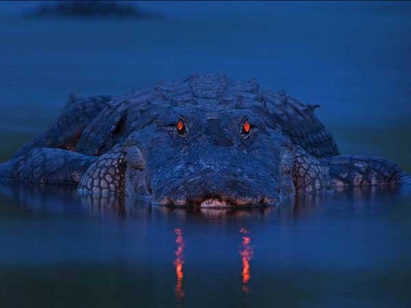 perierga.gr - Φωτογραφίζοντας αλιγάτορες τη νύχτα!