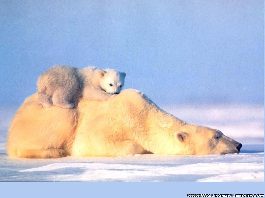HD Polar Bear Wallpaper  WallpaperSafari