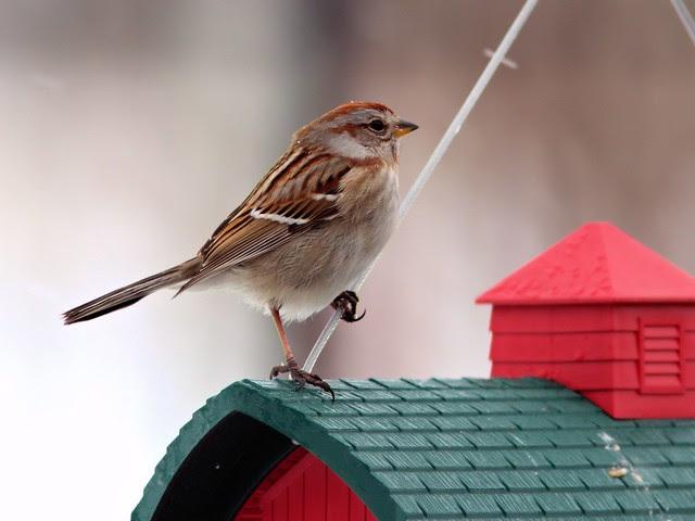 American Tree Sparrow 20130228