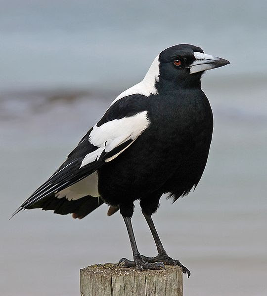 File:Australian Magpie 1, jjron, 5.07 highlight.jpg