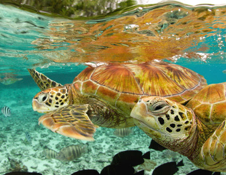 green sea turtles, bora bora