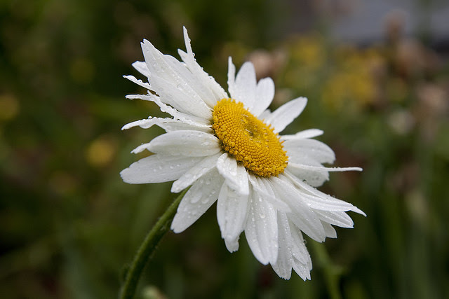 wet daisy 2