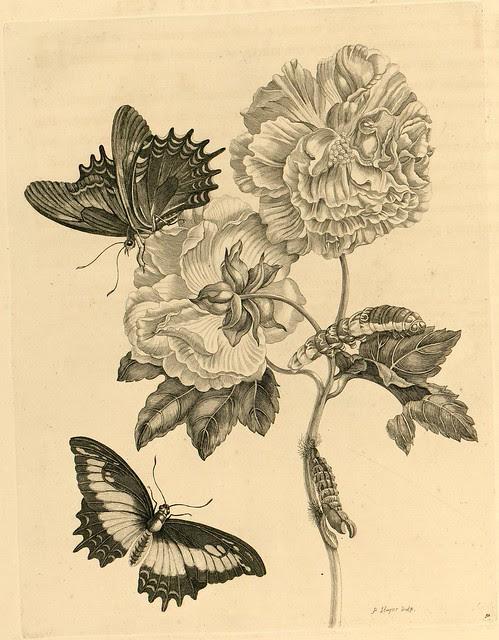 Metamorphosibus Insectorum Surinamensium (p71)