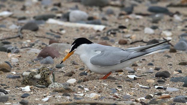 A little tern feeding its chick