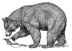 Line art drawing of a black bear.