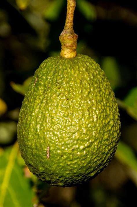 truth   avocado oil  hair growth