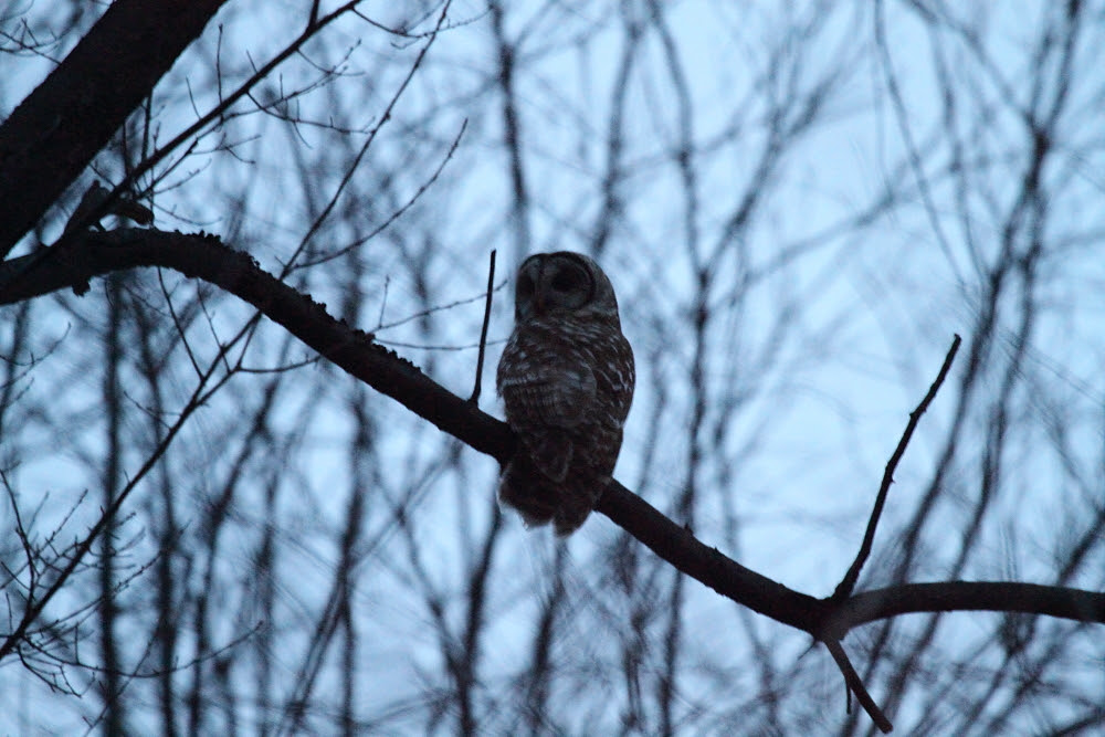 Barred Owl Flyout