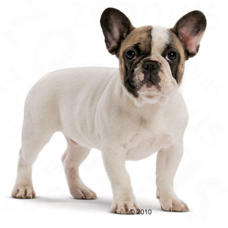 Consigli Curiosità Info Salute Pedigree Sui Bulldog Francesi