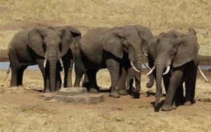 2014-03-10T221635Z_1_CBREA291PVQ00_RTROPTP_2_KENYA-ELEPHANTS-CENSUS