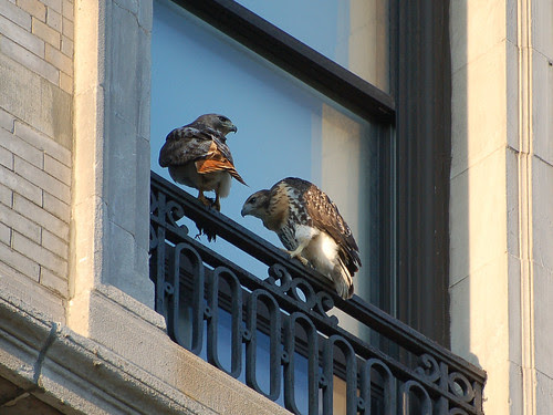 Red-Tail Father and Fledgling
