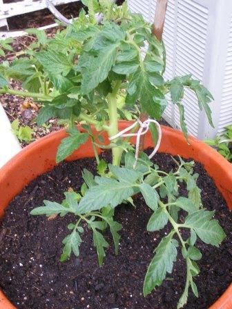 Tennessee Tomato Plant
