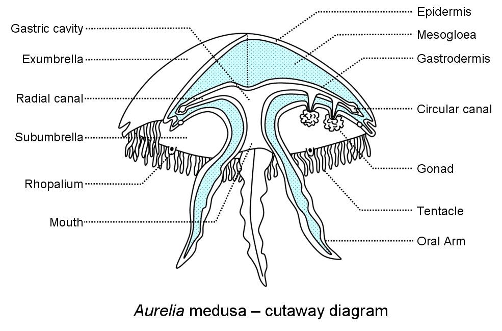 aurelia 3