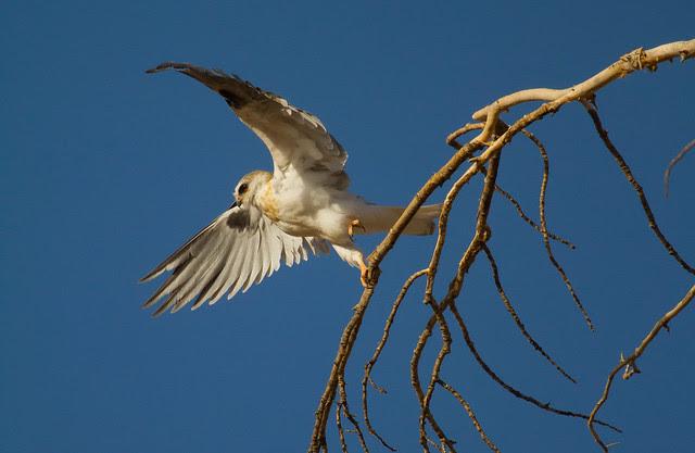 White-tailed kit 2
