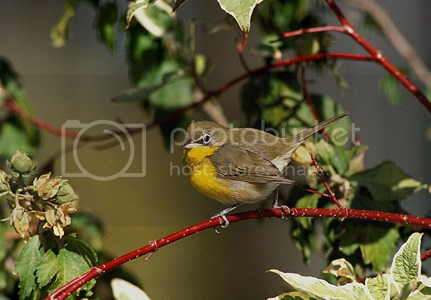 Birding Tours of Bryant Park - Yellow Breasted Chat