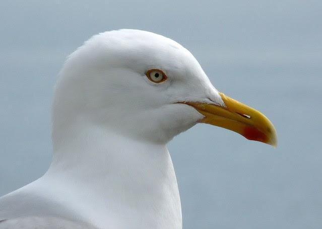 24211 - Herring Gull, Lyme Regis