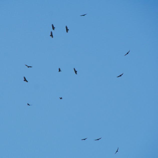 Ed Gaillard: birds &emdash; Turkey Vultures, Central Park