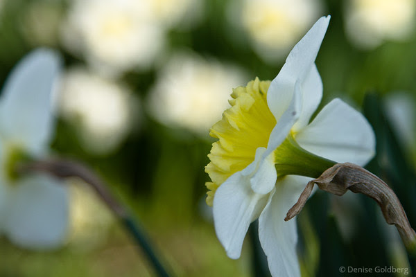 graceful daffodil