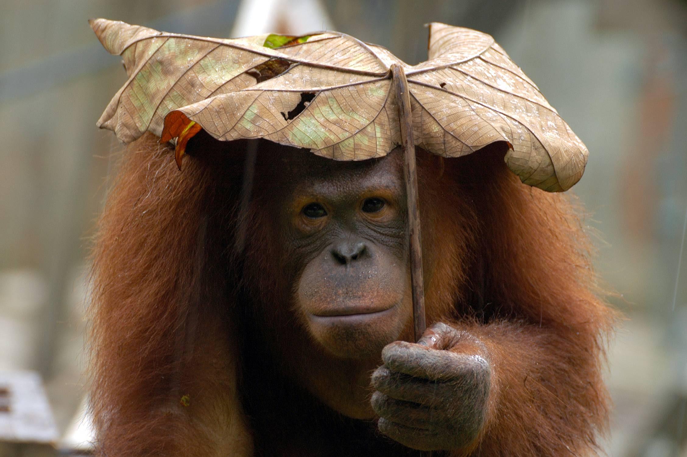 Bornean Orangutan Umbrella