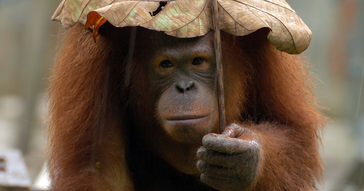 Cute Animal Pictures Bornean Orangutan Umbrella