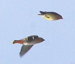bohemian waxwings