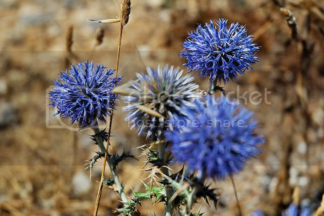 Blue Cliff Wildflowers in Costa Brava, Spain [enlarge]