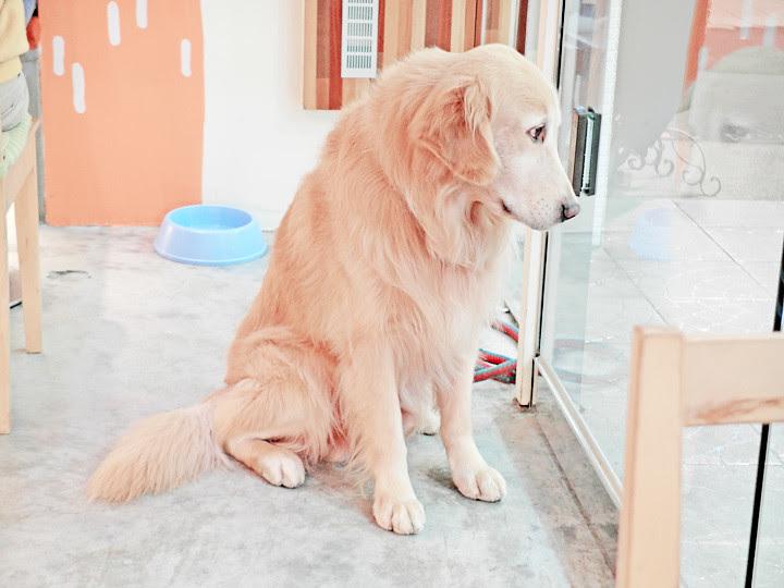 阿毛 Risotto cafe dog looks sad