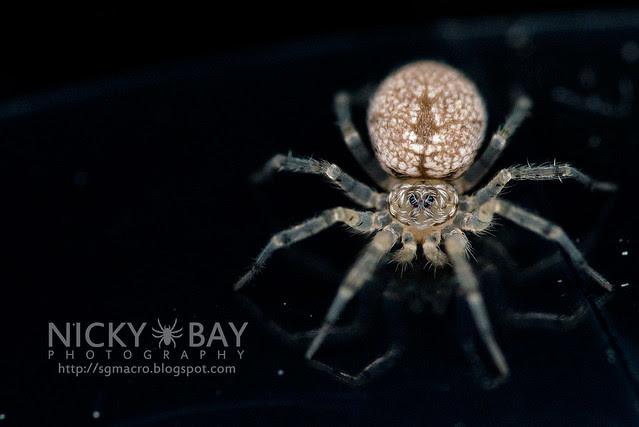 Wall Spider (Oecobiidae) - DSC_3935