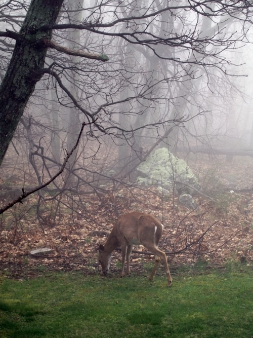 a deer eats grass near the foggy Skyline Drive in Shenandoah National Park, Virginia