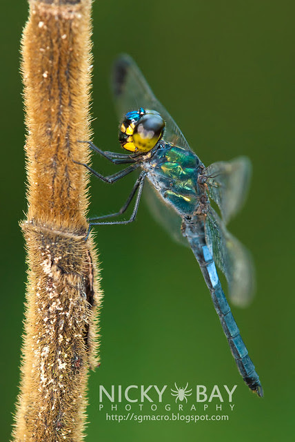 Dragonfly (Anisoptera) - DSC_7989