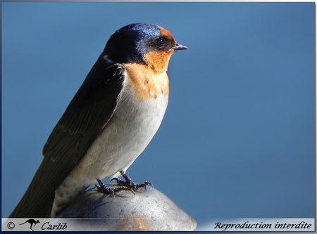 Swallow_P025633