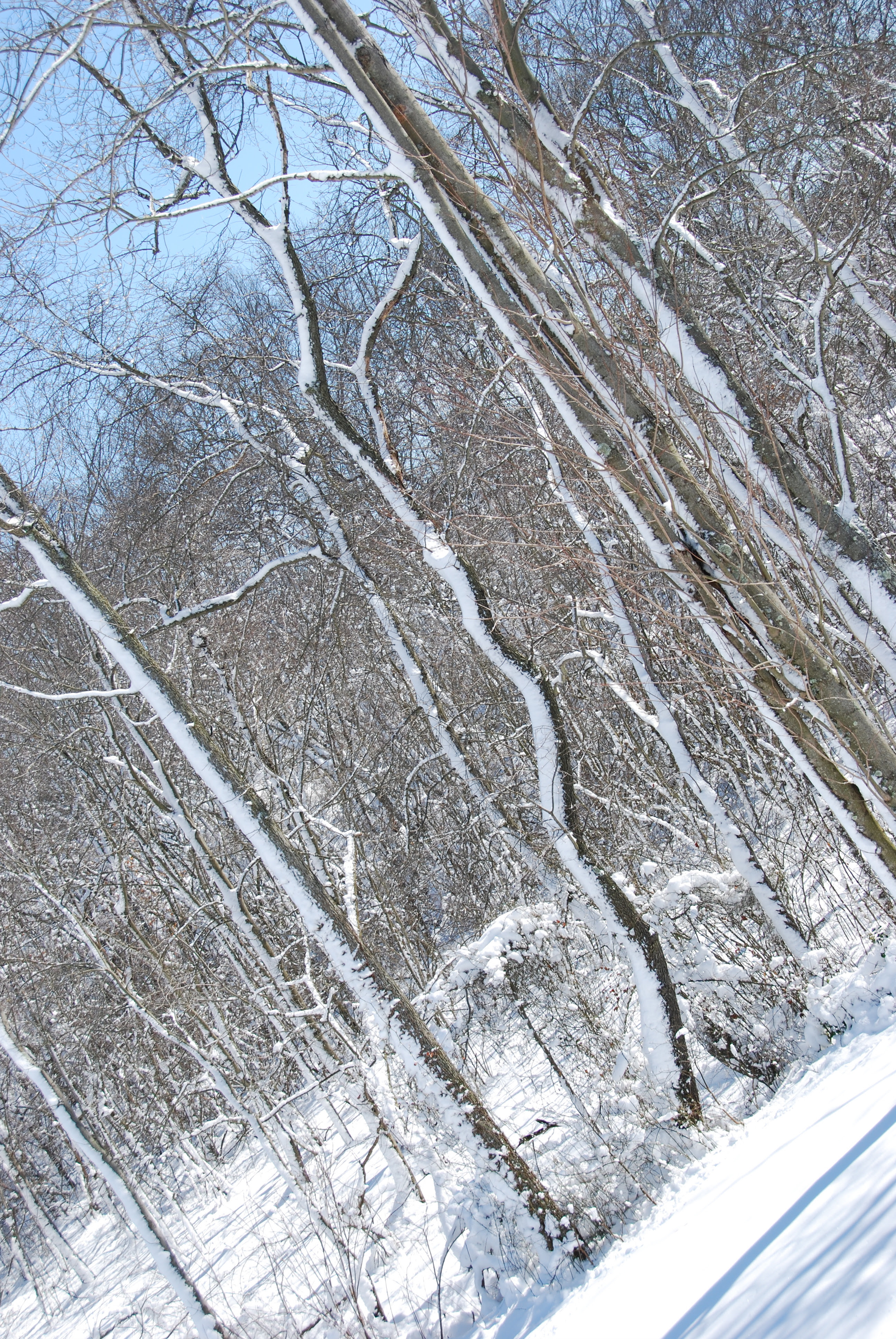 zig zag tree in snow