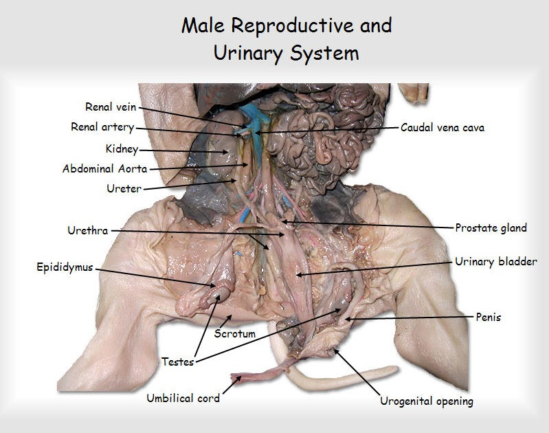 31 Female Pig Reproductive System Diagram