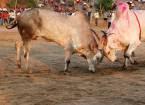 Бої биків в індії