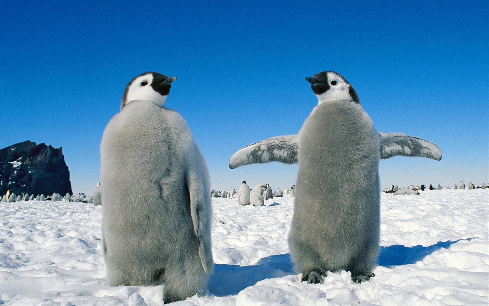 ペンギン写真の壁紙 6 1680x1050 壁紙ダウンロード ペンギン写真