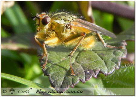 Scathophaga_stercoraria_P4099