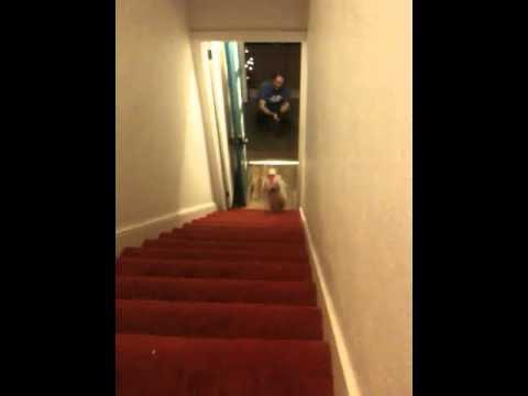 video de un perro bajando escaleras