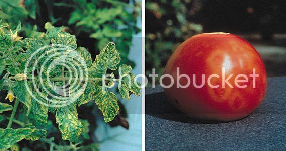 Benih, Tomat, Tanaman, Virus