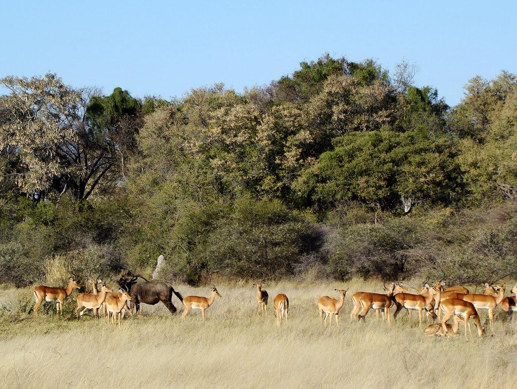 DSC07611 impala and wildebeest