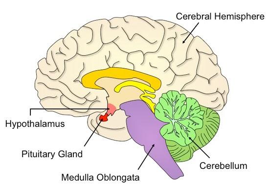 brain_med