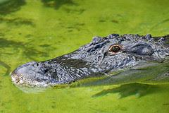 Alligator II