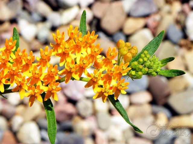 DSCN4167 Butterfly Weed