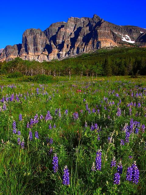 IMG_0972 Lupine and Apikuni Mountain, Glacier National Park