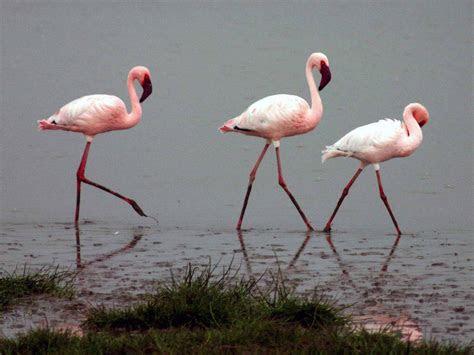 wallpapers flamingo wallpapers