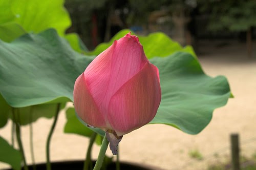 lotus flower picture