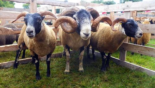 Blackface ewe and lambs