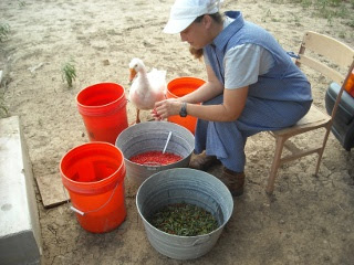 Sue Cleaning Agarita Berries