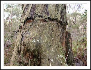 Ringbarked Stringybark